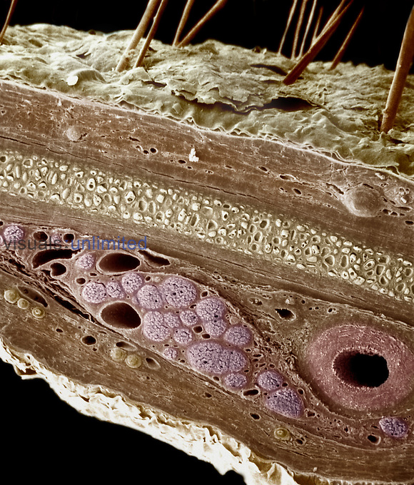 Skin cross-section, showing the epidermis, dermis, perichondrium, elastic cartilage, a myelinated nerve fiber, and a muscular artery.   The skin or integument accounts for about 15% of the human body weight. Although various pathogens affect the skin, it also prevents the entry of many to the body's interior. SEM X160  **On Page Credit Required**
