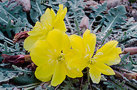 Desert Evening Primrose or Yellow Evening Primrose (Oenothera primiveris).  Mojave Desert, CA.  March.