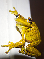 A tree frog takes refuge from the rain on a back porch in Holly Hill, Florida. (Photo by Brian Cleary / www.bcpix.com )