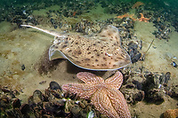 little skate, Leucoraja erinacea, Rhode Island, USA, North Atlantic Ocean