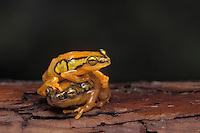 SEDGE FROGS..Native to caostal Kenya & East Africa..Captive. (Hyperolius puncticulatus).