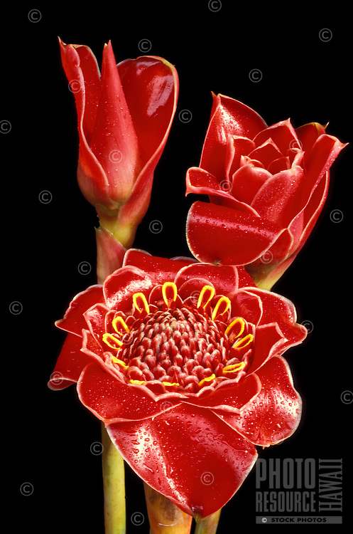 Three bracts of of tulip torch ginger (Nicolaia hemisphaerica cv. Helani tulip), bright red and glossy on vertical stems