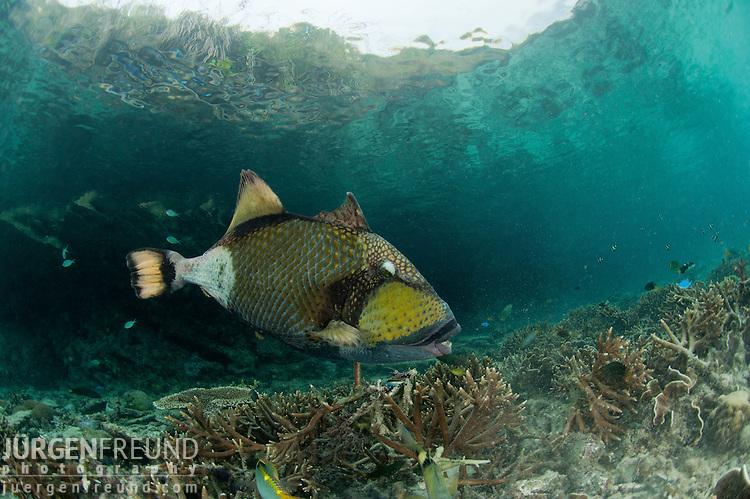 Titan triggerfish, giant triggerfish or moustache triggerfish (Balistoides viridescens). Misool, Raja Ampat, West Papua, Indonesia,  January 2010