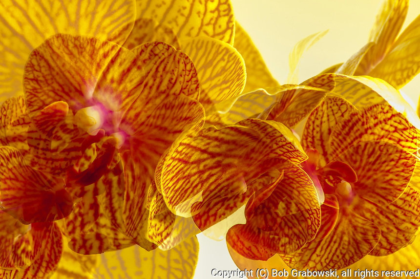 A double exposure of Phalaenopsis Orchids, commonly know as Moth Orchids