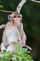 A Long-tailed Macaque (Macaca fascicularis) observing other macaques from the safety of a tree, near Angkor Wat Temple (Cambodia)