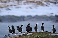 European Shag, Phalacrocorax aristotelis, Hornøya Island, Varanger Peninsula, Norway, Scandinavia