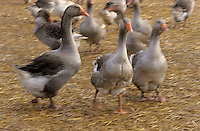 Europe/France/Aquitaine/24/Dordogne/Vallée de la Dordogne/Périgord Noir/Domme: Elevage d'oies à la ferme de Turnac