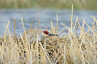 Sandhill Crane (Grus canadensis) incubating a nest in a seasonal wetland. Sublette County, Wyoming. May.