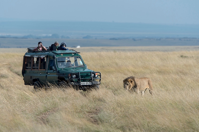 Tourists in safari vehicles watching a male lion (Panthera leo) is walking through the high grass in the grassland of the Masai Mara National Reserve in Kenya.