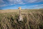 Demoiselle Crane Chick, Eastern Steppe, Mongolia