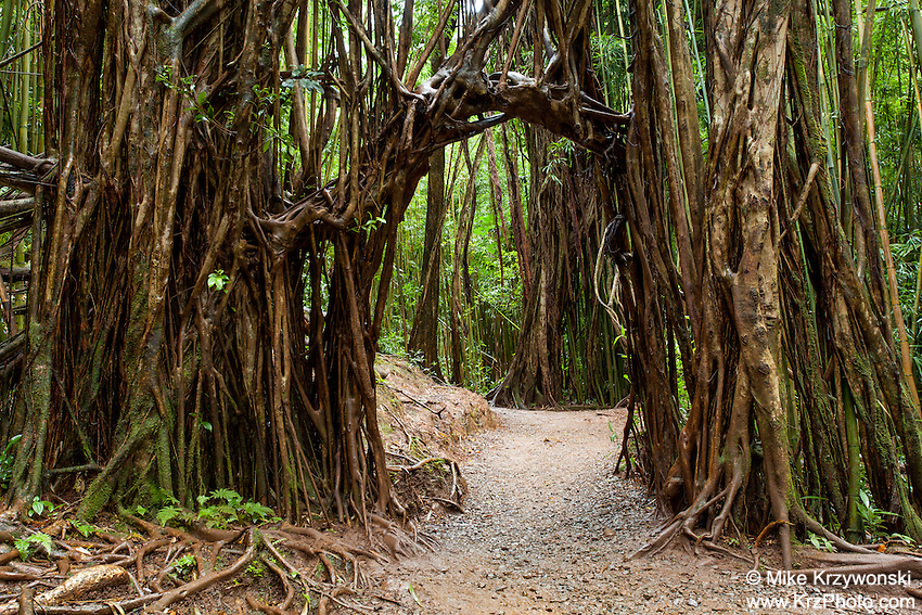 Root archway over the trail to Manoa Falls, Honolulu, Oahu