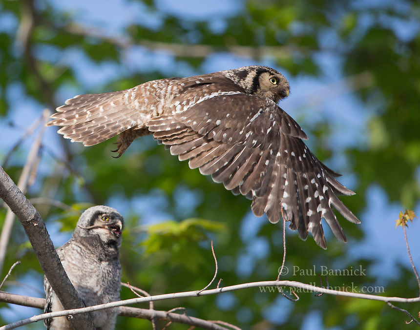 A Northern Hawk Owl flys after delivering prey to a fledgling.