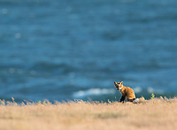 A fox kit poses in front of the Salish Sea.