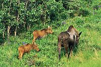 Cow moose and two spring calves, wild iris, near Denali National Park, Alaska
