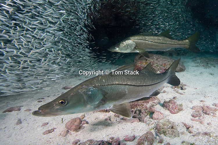 Snook, Centropomus undecimalis, feeding on a baitball, Florida Keys National Marine Sanctuary