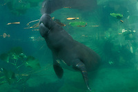 an Amazonian manatee, Trichechus inunguis ( c ), takes a breath at the surface, INPA/LMA, Amazonas, Brazil ( dm )