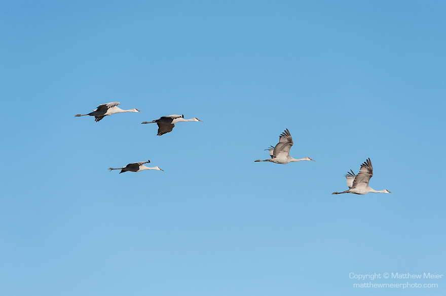 Sonny Bono Salton Sea National Wildlife Refuge, Salton Sea, California; five Sandhill Cranes (Grus canadensis) flying in formation overhead against a clear blue sky
