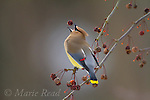 GRAND PRIZE WINNER 2017 Share The View International Nature Photography Contest: Cedar Waxwing (Bombycilla cedrorum) feeding on crabapple (Malus sp.) fruit in late winter, New York, USA.