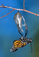 MO04-500z   Monarch emerging from chrysalis - Danaus plexipuss