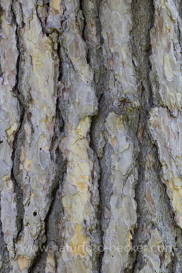 Schwarz-Kiefer, Schwarzkiefer, Schwarzföhre, Kiefer, Rinde, Borke, Stamm, Pinus nigra, Pinus austriaca, Black Pine, Austrian pine, bark, rind, Le Pin noir d'Autriche, pin noir