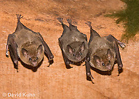 0715-1107  Seba's Short-tailed Bat, Roosting in Building in Belize, Carollia perspicillata  © David Kuhn/Dwight Kuhn Photography