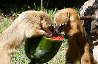 Coatis refresh with a frozen watermelon at the Bioparco of Rome, Italy, August 8, 2017. Rome temperatures exceeded 40 degrees C.<br /> UPDATE IMAGES PRESS/Riccardo De Luca