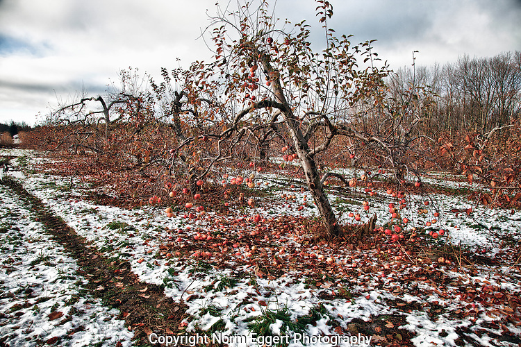 An apple orchard after an early snow left a dusting on the trees and damaged fruit on the ground.