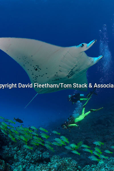 The manta ray, Manta; birostris, is related to sharks and can reach over 20 feet across their wingspan.  Three images were digitally composited for this final image.  Hawaii.