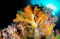 Orange Soft Coral, Dendronephthya sp, with sun in background, Yellow Wall of Texas dive site, Horseshoe Bay, Nusa Kode, south Rinca Island, Komodo National Park, Indonesia, Indian Ocean