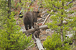 Two grizzly bear cubs follow their mother across a log in Yellowstone National Park, Wyoming.