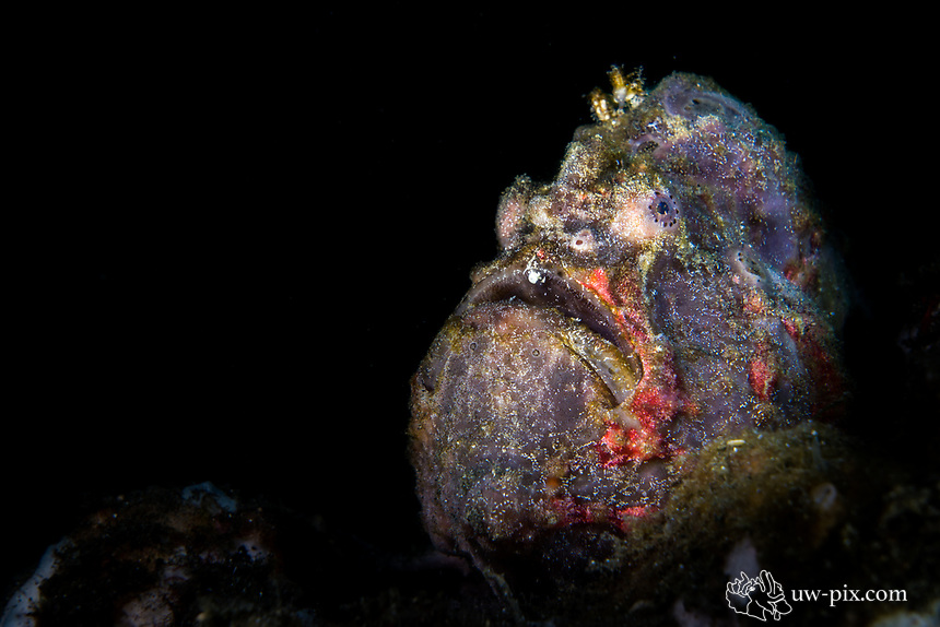 Frogfish in the Lembeh Strait