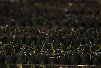 Plantação de dendê da Biopalma.