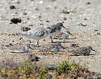 Western sandpipers and a sanderling