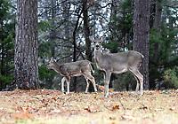 NWA Democrat-Gazette/FLIP PUTTHOFF <br /> DOE A DEER<br /> Deer graze Tuesday March 12 2019 in a pine forest at Rocky Branch park on Beaver Lake.