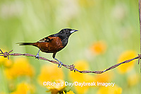 01618-009.16 Orchard Oriole (Icterus spurius) male on barbed wire fence near flower garden Marion Co. IL