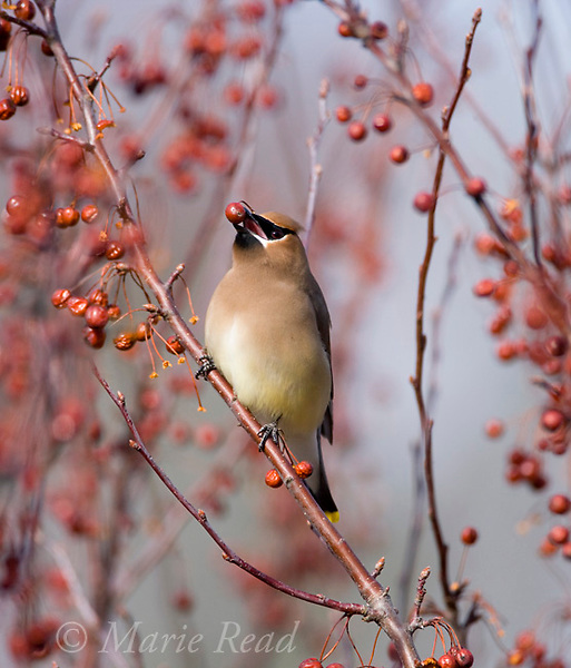 Cedar Waxwing (Bombycilla cedrorum) feeding on crabapple fruits in late winter, Ithaca, New York, USA