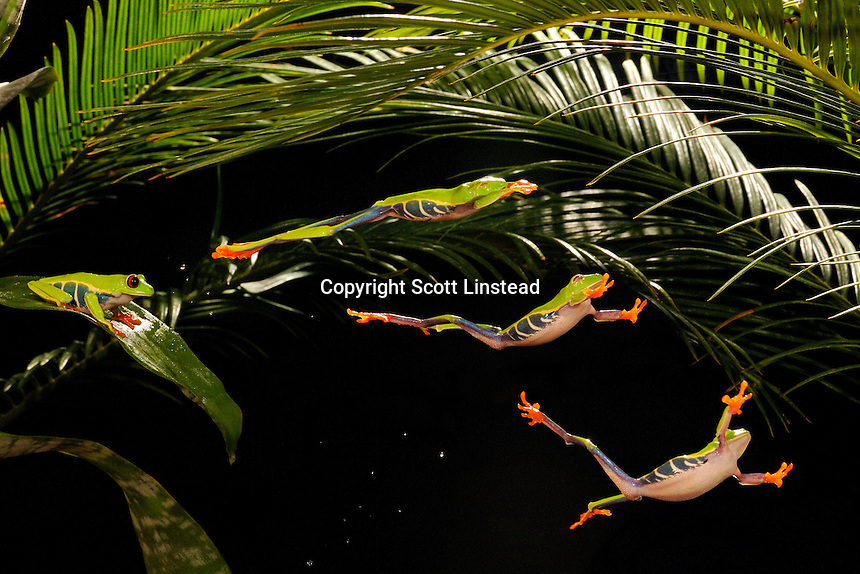 red-eyed tree frog jumping sequence (composite)