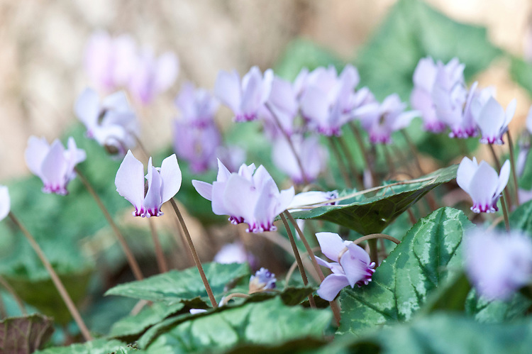 Cyclamen hederifolium, late September.
