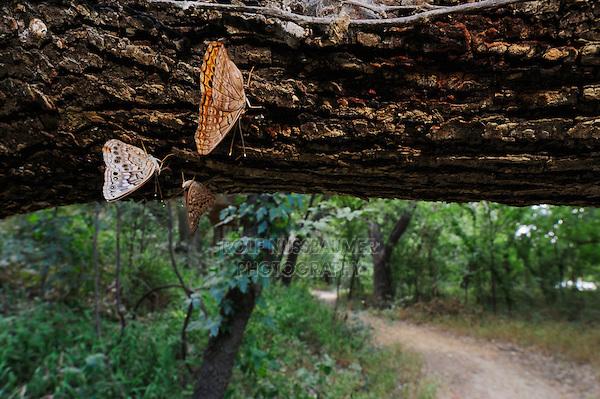 Hackberry Emperor (Asterocampa celtis), Colorado River Refuge, Bastrop County, Central Texas, USA