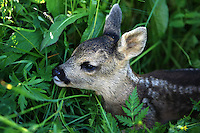 Roe deer baby good hidden in the green grass