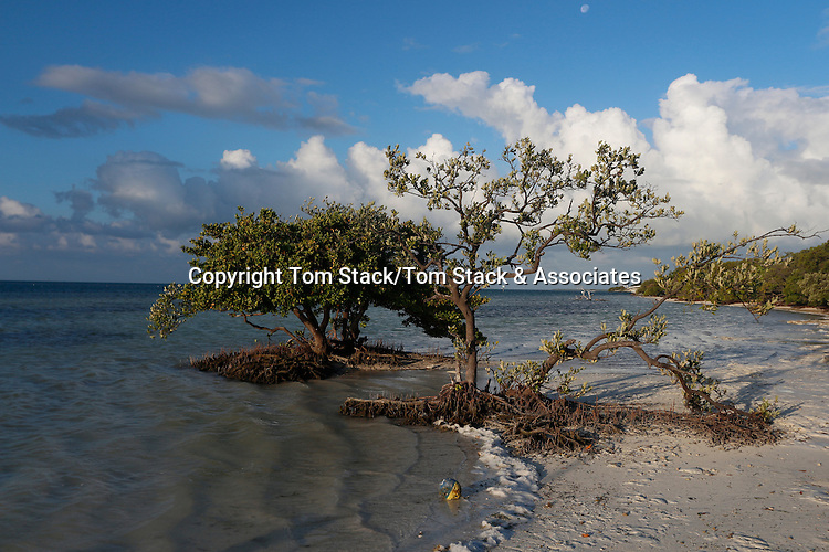 Black Mangrove, Avicennia germinans, at low tide revealing pneumatophore roots. Anne's Beach, Islamorada, Florida Keys