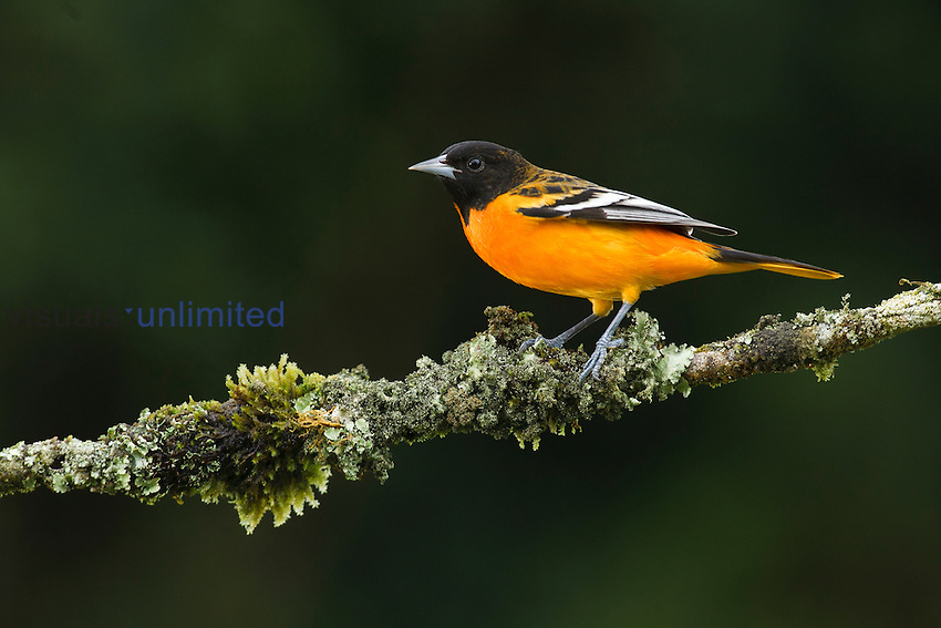 Male Baltimore or Northern Oriole (Icterus galbula), Costa Rica