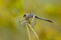 362690005 a wild male black meadowhawk sympetrum danae perches on a stick near de chambeau ponds in mono county california united states