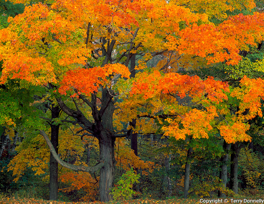 Point Beach State Forest, WI  &copy; Terry Donnelly  <br /> Hardwood forest with Sugar Maples (Acer succharum) in fall color