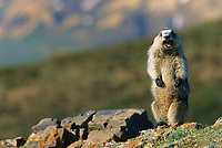 Hoary Marmot stands upright, on alert on a mountain ridge, Denali National Park, Alaska.