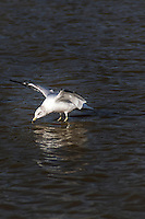 A Ring-billed gull executes a water landing, sliding its feet into the water without a splash.