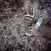 A dead white tail deer in Superior, Nebraska, Thursday, December 1, 2011. ..Photo by Matt Nager