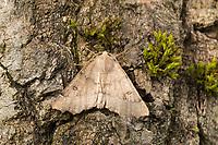 Doppelzahnspanner, Zahnrandspanner, Doppelzahn-Spanner, Zahnrand-Spanner, Odontopera bidentata, Gonodontis oreas, scalloped hazel, L'Ennomos dentelée, Spanner, Geometridae, looper, loopers, geometer moths, geometer moth