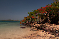 "Flamboyant ""Christmas"" Trees on the Way to Vonu Point, Dolphin Beach, Turtle Island, Yasawa Islands, Fiji"