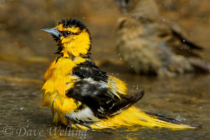 561930011 a wild adult male bullocks oriole icterus bullockii bathes in a small pond in the rio grande valley of south texas